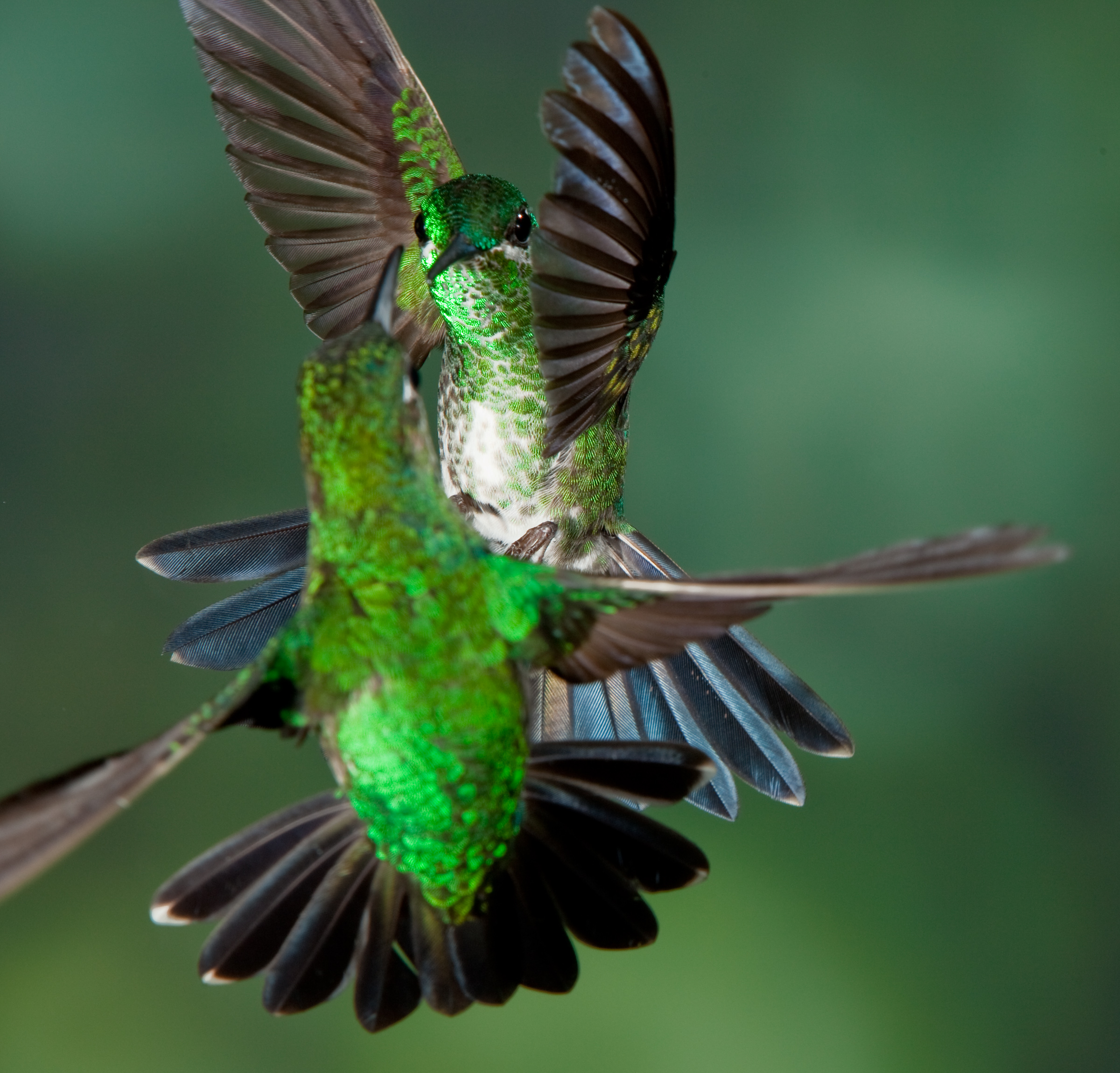 a personal recount about feeding hummingbirds A young calliope hummingbird on its first southbound migration refuels   refresher course in the best (and worst) practices for feeding them.
